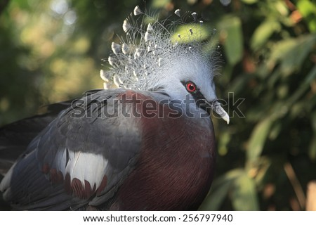 Very large and rare bird - Victoria Crowned pigeon  - stock photo