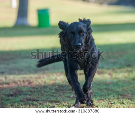 Very large black dog running straight ahead.