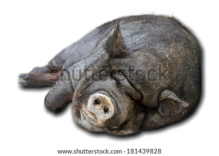 Very lazy, cute and beautiful pot-bellied pig taking a nap, isolated on a white background - stock photo