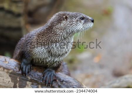 very nice otter - stock photo