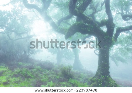 Very Old Laurel Tree in Madeira, Portugal - stock photo