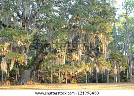 Very old oak tree with abundant Spanish moss hanging on the branches, a common sight in old plantations of the South. - stock photo