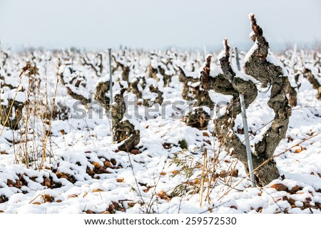 very old vine vineyard winter under the snow, Provence, France
