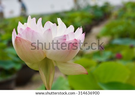 Very rare, double flower of lotus flower