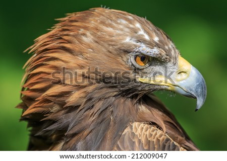 very rigorous golden eagle female