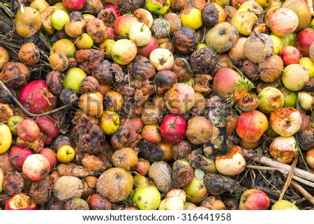 Very rotten green, yellow and red apples on a compost heap on an allotment site - stock photo