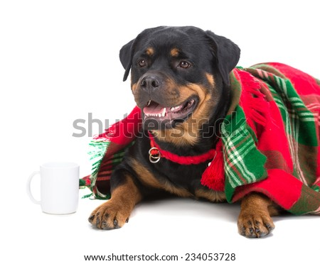 Very sad dog, rottweiler, under a blanket with a cup of tea, isolated on white. - stock photo