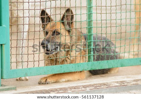 Very sad german shepherd dog in a shelter in the aviary