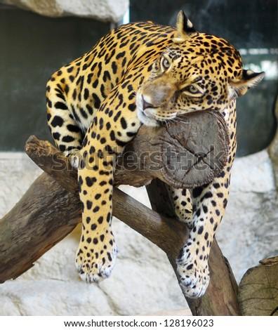 sad snow leopard - YouTube