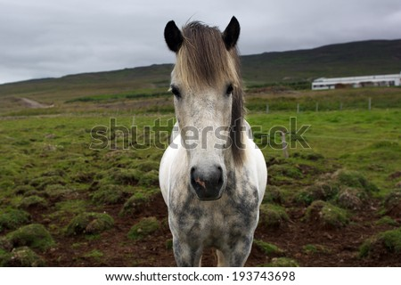 Very serious icelandic horse looking into the camera on a typical icelandic cloudy day - stock photo