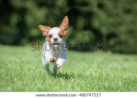 very small and cute spaniel puppy running in a park