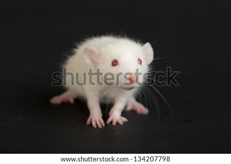 very small domestic rat on a black background