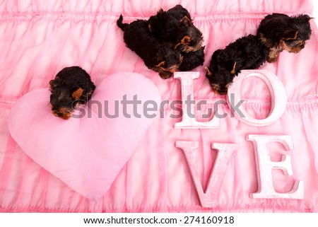 Very small puppies on a pink bed. Next to the Yorkshire terrier puppies are letters LOVE. Many puppies on a pink blanket. Love, flower, puppies, gift for Valentine's Day. Yorkshire puppies in the home - stock photo