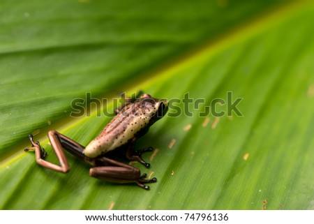 Very small, unedenfied frog sitting on a leaf in Ecuadorian jungle of Amazon - stock photo