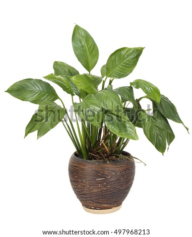 Very unpretentious simple no name green houseplant grows in a ceramic pot eternally. Isolated on white