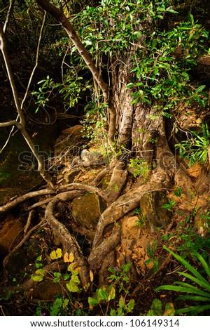 Very weird tree in Madagascar - stock photo