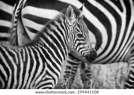 Very young and cute zebra in black and white