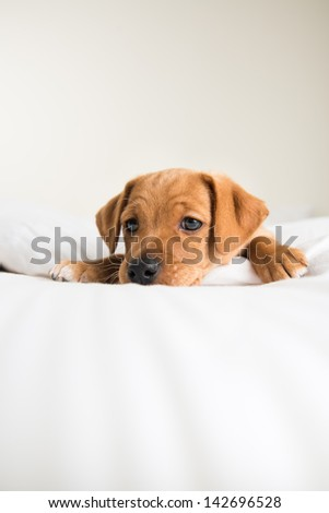 Very Young Dachshund and Hound mix Puppy Relaxing on White Bed - stock photo