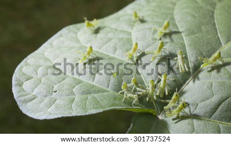 Very young grasshoppers spreading out on a morning glory leaf - stock photo
