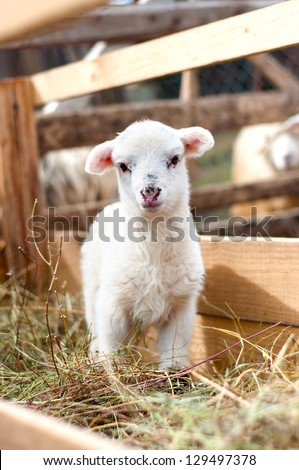Very young lamb barely standing, eating grass and staring at camera - stock photo