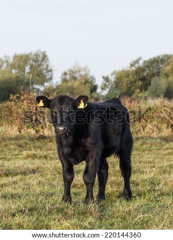 Very young pedigree Aberdeen Angus calf on Somerset Levels farm at sunrise - stock photo