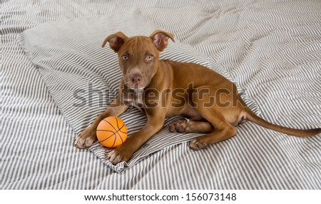 Very Young Pit Bull mix Puppy Playing on Bed with Rubber Basketball Toy - stock photo
