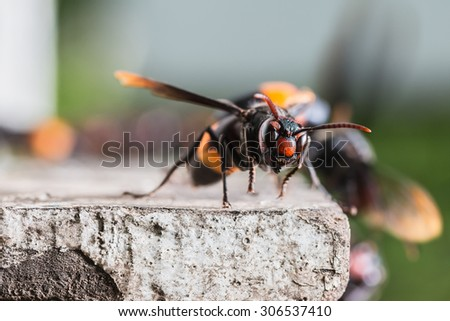 Vespa tropica, Vespa tropica is a widely distributed hornet in much of tropical Asia. - stock photo