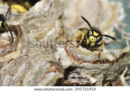 Vespula germanica (European wasp, German wasp, or German yellowjacket) in the nest - stock photo