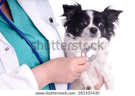 Vet and Dog, Chihuahua. The veterinarian exam the dog for checking its health - stock photo