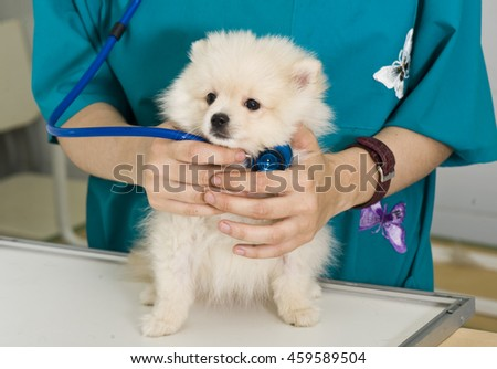 Vet and dog. Veterinary doctor is holding spitz puppy