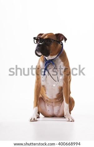 Vet boxer dog - stock photo