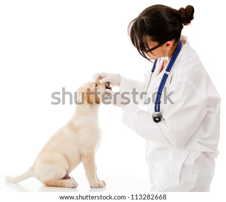 Vet checking the teeth of a puppy dog - isolated over white