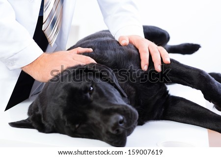vet checks the health of a dog, that is on the table