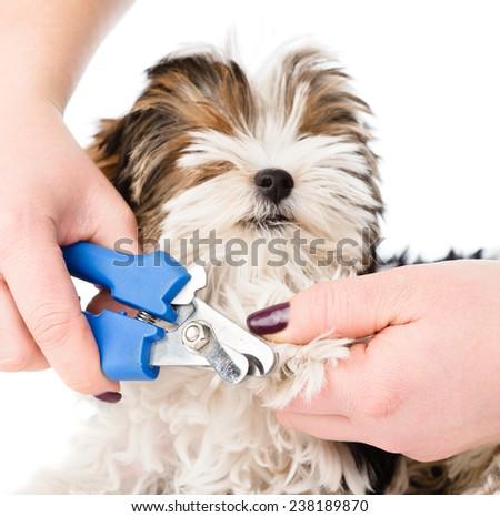vet cutting dog toenails. isolated on white background - stock photo