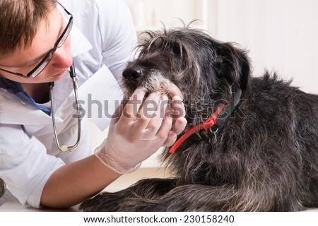 Vet examines the dog's teeth   - stock photo