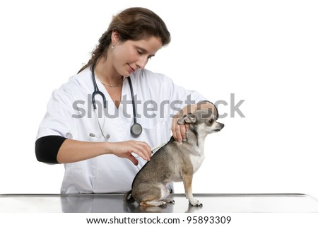 Vet giving an injection to a Chihuahua in front of white background