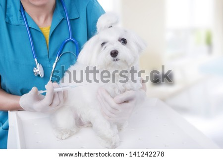 vet in blue medical uniform vaccination small pushes Maltese dog inside light spacious veterinary clinic - stock photo