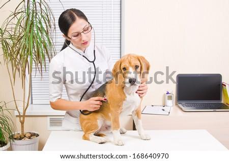 Vet listens a dog stethoscope - stock photo