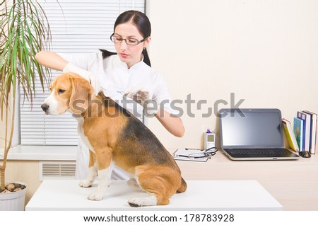 Vet makes an injection of dog  breed of beagle - stock photo
