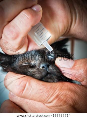 Vet takes eyedrops to sick kitty's eye - stock photo