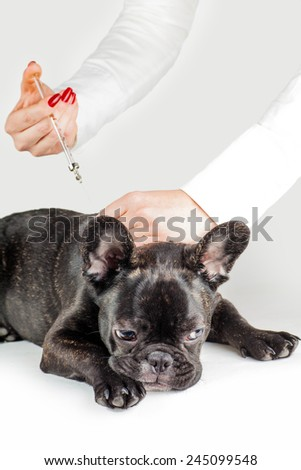 Vet to vaccinate dog breed French Bulldog - stock photo