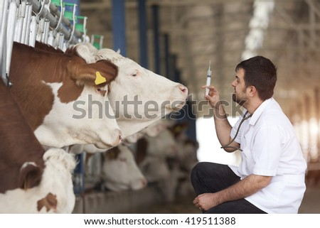 Vet Working On Simmental Cows - stock photo