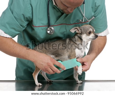 Vet wrapping a bandage around a Chihuahua's paw in front of white background - stock photo