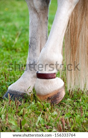 Veteran horse wearing a natural remedy: Copper pastern strap to aid against arthritis - stock photo