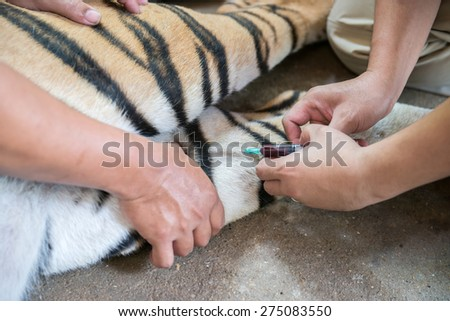 veterinarian and zookeeper getting blood drawn from the tiger - stock photo
