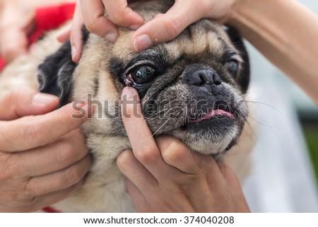 veterinarian check the dog's eyes. - stock photo