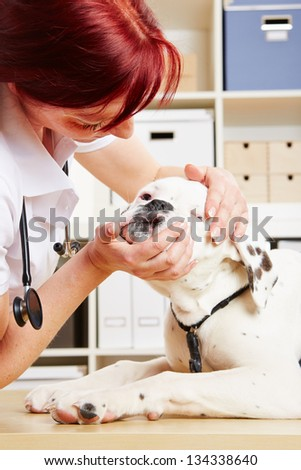 Veterinarian checking jaws of an albino boxer dog in her clinic - stock photo