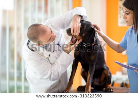 Veterinarian checking mouth of sick Great Done dog in vet clinic - stock photo