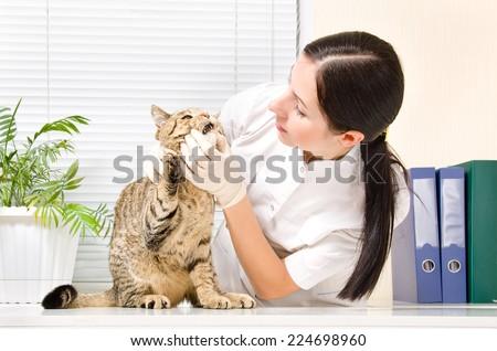 Veterinarian checks teeth cat breed Scottish Straight - stock photo
