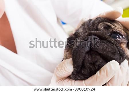 Veterinarian checks the eyes of a dog breed pug closeup - stock photo